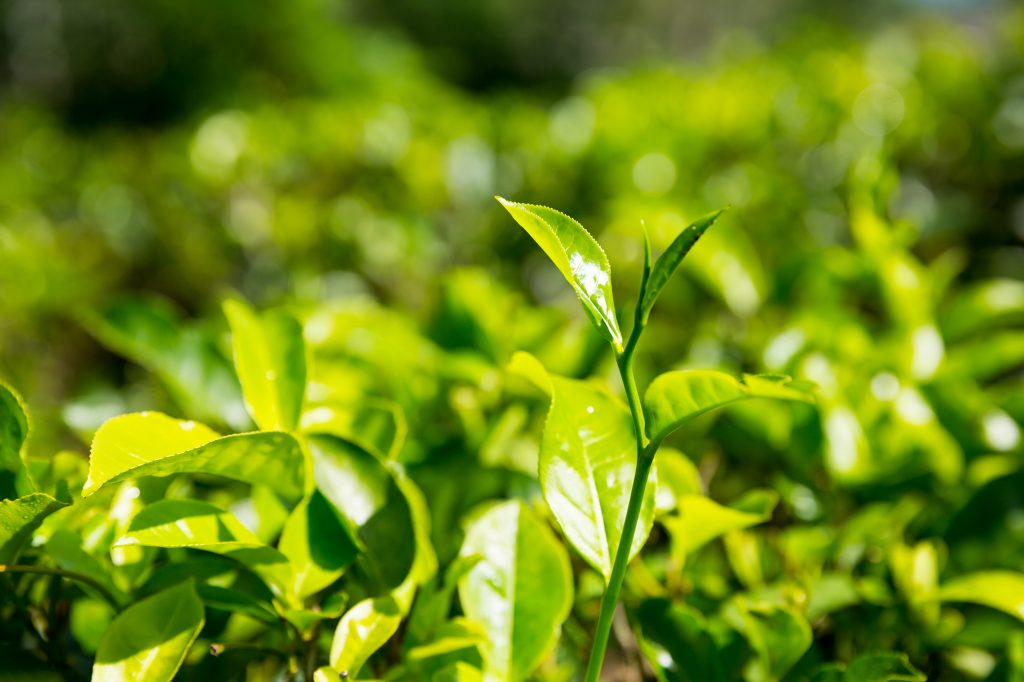 A close up of a green plant sprout with several leaves, several other plants in teh background.
