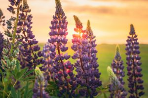 close up of a lavander plant in a field of lavander with the sunset in the background